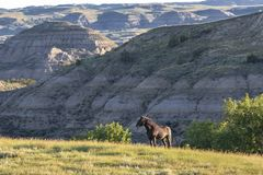 Mustang Stallion in the Badlands royalty free stock images