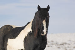 Mustang Stallion with Black Mane Royalty Free Stock Images