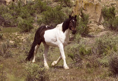 Mustang Stallion in Sage stock images