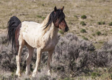Mustang stud in desert sagebrush Stock Photo