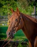 Mustang-Stute Stockbilder