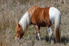 Mustang wild horse Royalty Free Stock Images