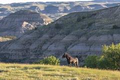 Mustanghingst i badlandsna royaltyfria bilder