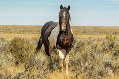Mustango salvaje Imágenes de archivo libres de regalías