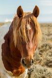 Mustango salvaje Fotografía de archivo