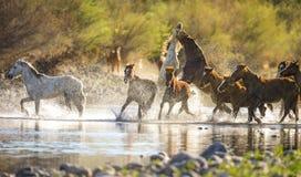Mustangos corrientes en el río Salt, Arizona Imagenes de archivo
