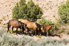 Mustangos de la montaña de Pryor Fotografía de archivo