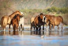 Mustangos de los caballos salvajes en el río Salt, Arizona Imágenes de archivo libres de regalías