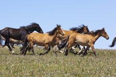 Mustangos salvajes Imágenes de archivo libres de regalías