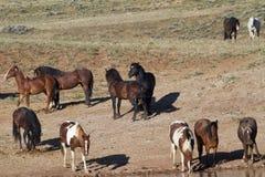 Mustangos salvajes en el agujero de agua Foto de archivo libre de regalías