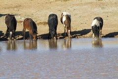 Mustangos sedientos Foto de archivo libre de regalías
