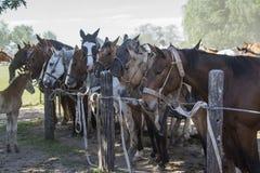 Mustangpaard Royalty-vrije Stock Fotografie