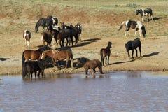 Mustangs ayant une vie sociale au trou d'eau Photo stock