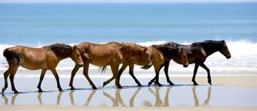 Mustangs of Carova Stock Images