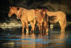 Mustangs de chevaux sauvages en rivière Salt, Arizona Photographie stock