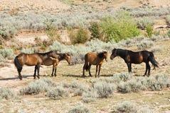 Mustangs de montagne de Pryor Photo libre de droits