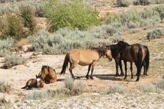 Mustangs de montagne de Pryor Images libres de droits