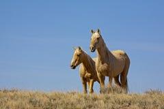 Mustangs de peau de daim Images libres de droits