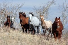 Mustangs du Montana Images libres de droits