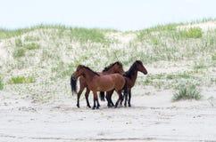 Mustangs espagnols coloniaux sauvages sur le Currituck du nord B externe Photographie stock libre de droits