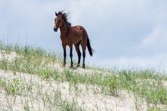 Mustangs espagnols coloniaux sauvages sur le Currituck du nord B externe Photos stock