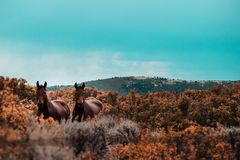 Mustangs grazing across hills stock photo