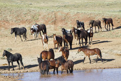 Mustangs hanging out in a water hole Stock Photography