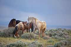 Mustangs Horses  Herd After The Rain Royalty Free Stock Photography