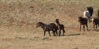 Mustangs on the Move. Band of wild horses on the move across the McCullough Peaks prairie Stock Image