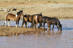 Mustangs Pausing for a Drink at  Waterhole Royalty Free Stock Photos