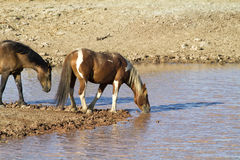 Mustangs Pausing for a Drink Royalty Free Stock Photo