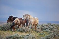Mustangs horses  herd after the rain