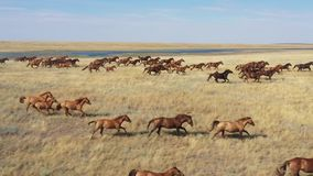 Mustangs. Wild horses galloping in the steppe, aerial view