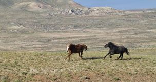 Mustangs Running Free on the McCullough Peaks wild horse range Stock Image