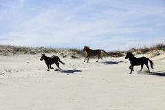 Mustangs Running among Sand Dunes Stock Images