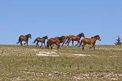 Mustangs sauvages Photos libres de droits