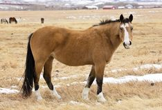 Mustangs von Wyoming Stockfotos