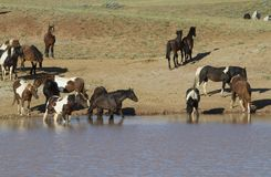 Mustangs Wading in a Water Hole Royalty Free Stock Image