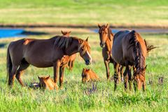 Wild horses grazing on summer meadow royalty free stock photo