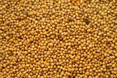 Mustard. Seeds of mustard for culinary use Stock Image