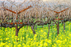 Napa in Winter Royalty Free Stock Photo