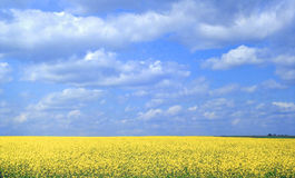The Mustard in Blooming Royalty Free Stock Photo