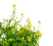 Free Mustard Blooming Plant  Brassica Nigra. Green Mustard Plants With Yellow Flower Brassica Stock Photos - 173649463