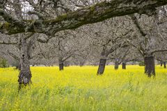 Walnut orchard in springtime Stock Image