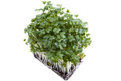Mustard Cress Stock Photo