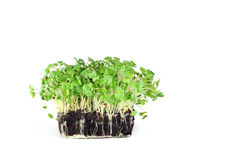 Mustard and Cress Stock Images
