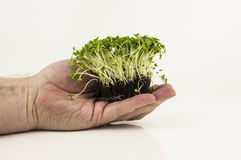 Mustard and cress roots and stems Stock Photo