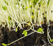 Mustard and cress roots and stems Stock Images