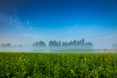 Mustard Crop Field Royalty Free Stock Image