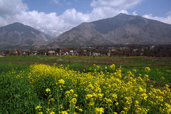 Mustard cultivation in  himalayas, india. Mustard flower cultivation in remote rural himalayan mountains, India. THe flower and seeds are  used  to  process Royalty Free Stock Photo